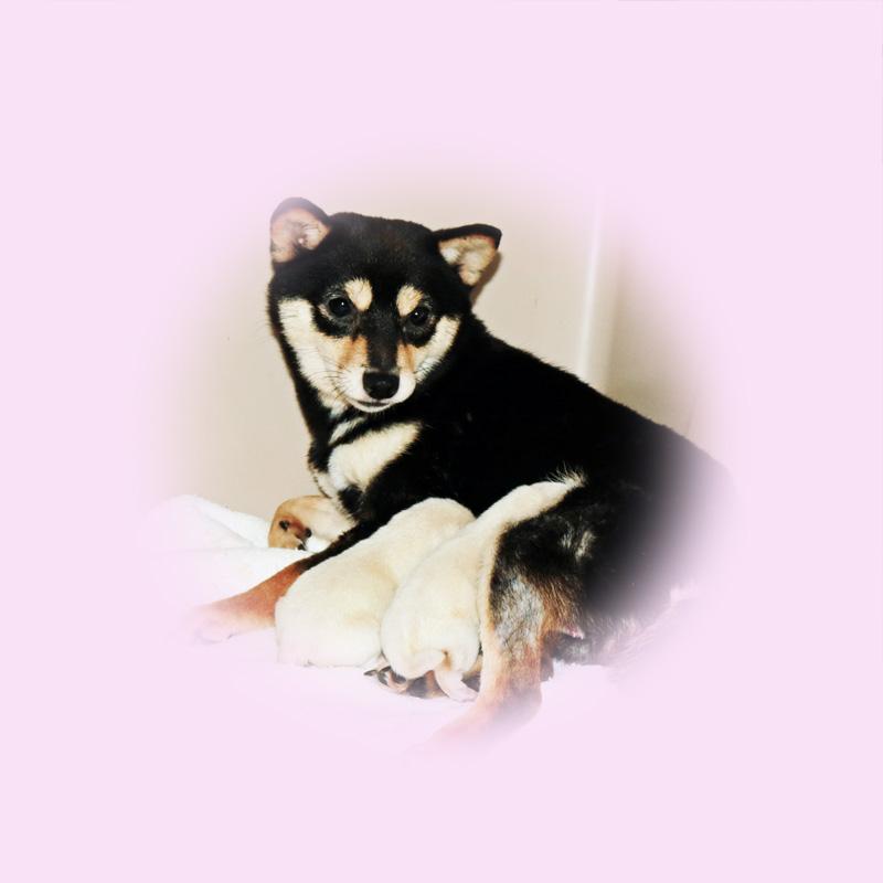 極小豆柴母犬 モネちゃん