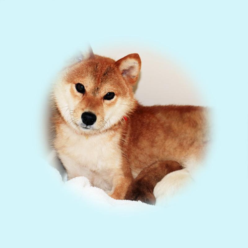 極小豆柴母犬 ビワちゃん
