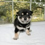 極小豆柴母犬 かなむちゃんの子b
