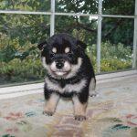極小豆柴母犬 タマキちゃんの子b
