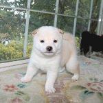 極小豆柴母犬 タマキちゃんの子c