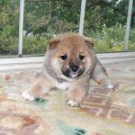 極小豆柴母犬 ユニちゃんの子b