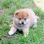 極小豆柴母犬 こっこちゃんの子