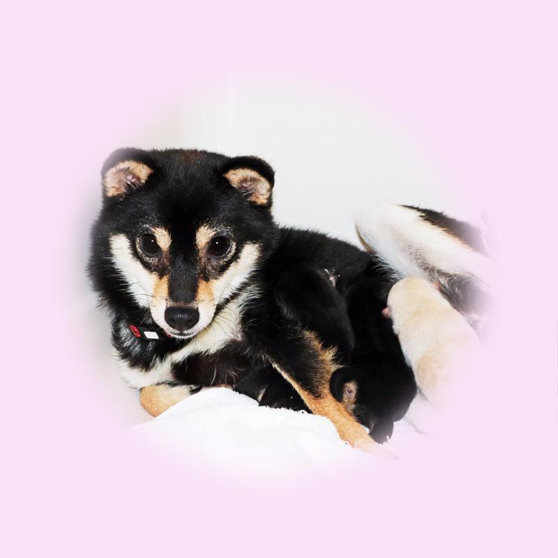 極小豆柴母犬 タマキちゃん