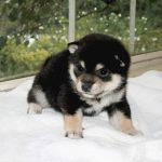 極小豆柴母犬 モエギちゃんの子b