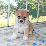 極小豆柴母犬 ミキちゃんの子