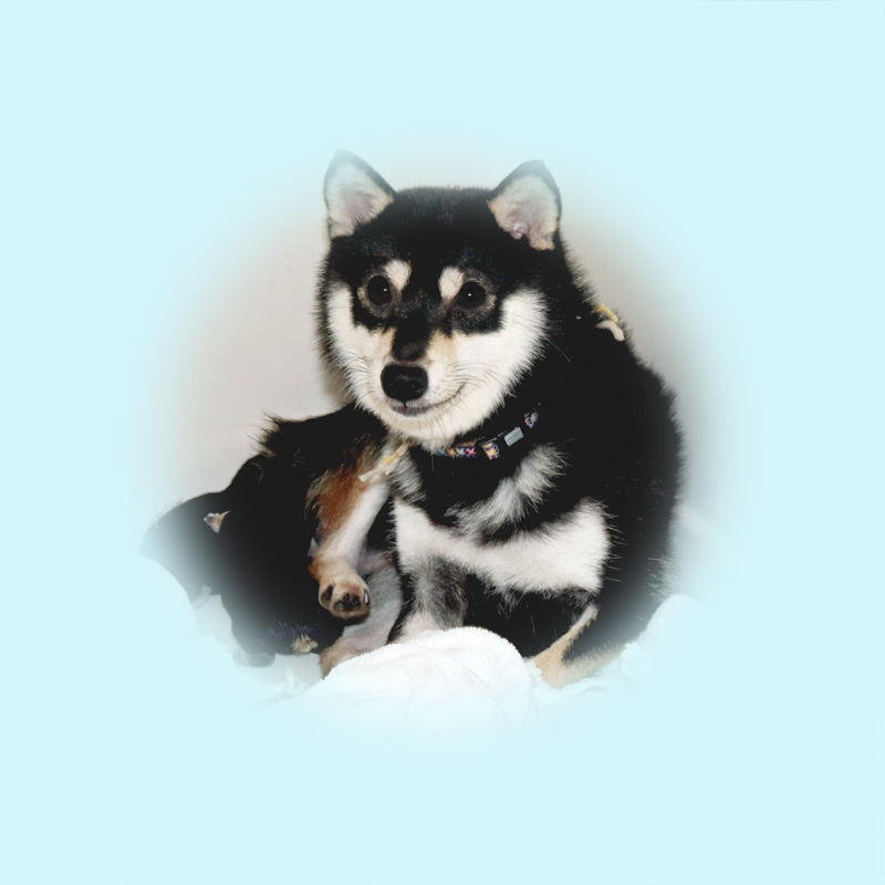 極小豆柴母犬 ミケちゃん