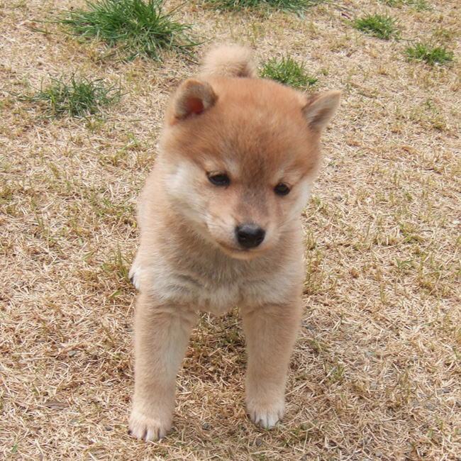 【癒し画像】もふもふ 柴犬子犬