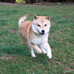 極小豆柴母犬リノちゃんの子