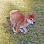 極小豆柴母犬アラレちゃん子