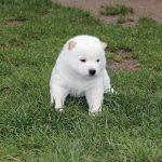Bébé Shiba Inu Mame Blanc