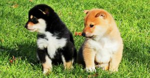 豆柴の子犬  画像 富士野荘