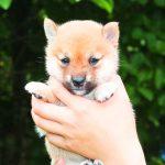 極小豆柴母犬から子犬誕生