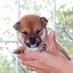 極小豆柴母犬ヒマワリちゃん子