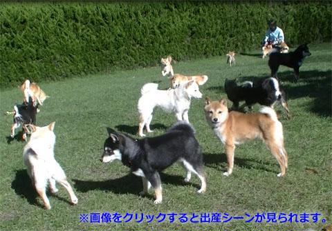 柴犬 訓練の様子