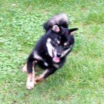 極小豆柴母犬 特別販売犬003