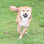極小豆柴母犬 特別販売犬004