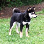 極小豆柴母犬 特別販売犬005
