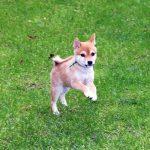 特販豆柴犬 p015