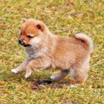 極小豆柴母犬オクラちゃんa