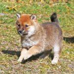 極小豆柴母犬かわなちゃんの子b