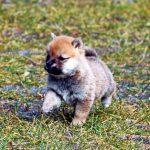 極小豆柴母犬かわなちゃんの子c