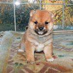 極小豆柴母犬ララちゃんの子b