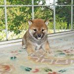 極小豆柴母犬 ミコちゃんの子