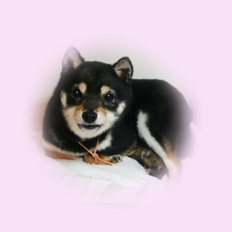極小豆柴母犬モエギちゃん