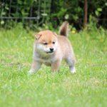 小豆柴母犬 クイナちゃん子b