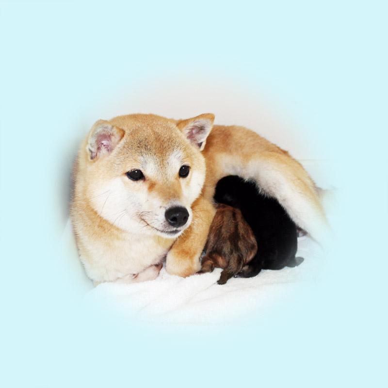 極小豆柴母犬 コロナちゃん