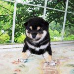 極小豆柴母犬 コロナちゃんの子b