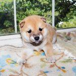 極小豆柴母犬 ミカちゃんの子