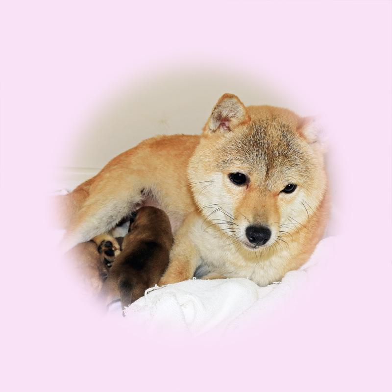 極小豆柴母犬 ライちゃん