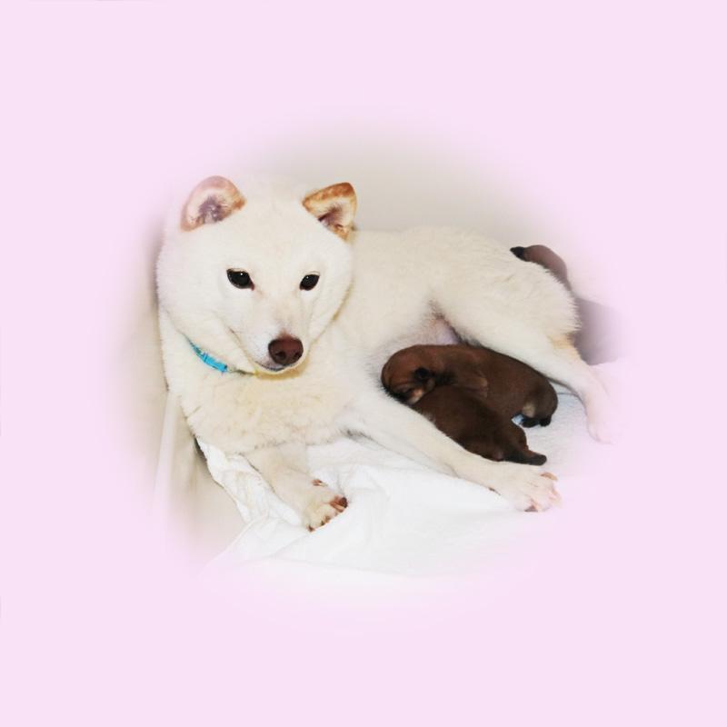 豆芝母犬 キリちゃん