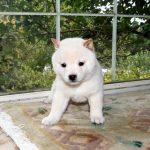 小豆柴母犬 モネちゃんの子b