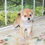 極小豆柴母犬 ミナミちゃんの子b