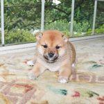 極小豆柴母犬 ミハルちゃんの子b