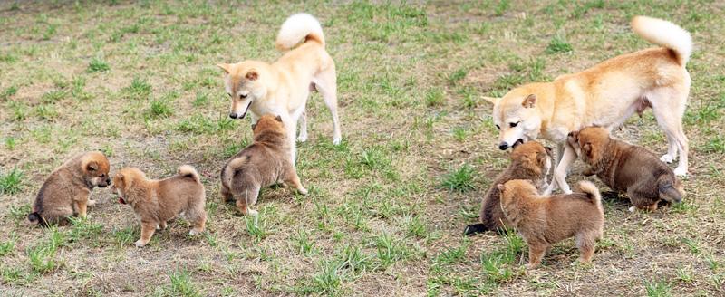 豆柴母犬 かわなちゃん
