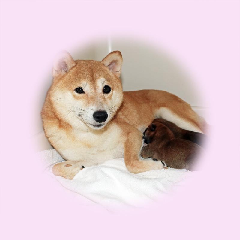 極小豆柴母犬 コモモちゃん