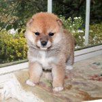 極小豆柴母犬 サリーちゃんの子b