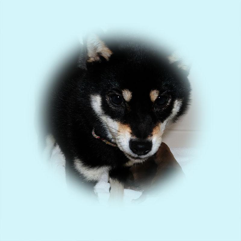 極小豆柴母犬 イルミちゃん