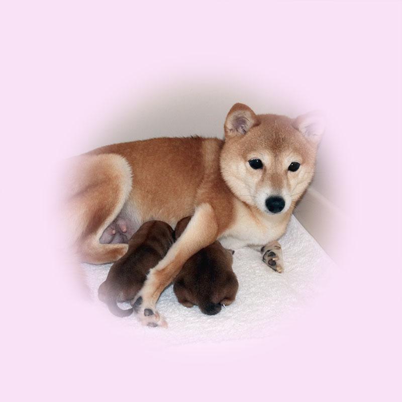 極小豆柴母犬 ポコちゃん