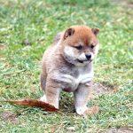 極小豆柴母犬 ハムちゃんの子b