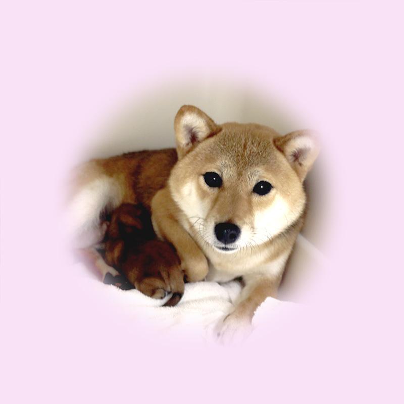 極小豆柴母犬 リツちゃん