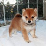 極小豆柴母犬 ミミちゃんの子