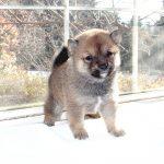 極小豆柴母犬 ミヤコちゃんの子b
