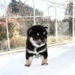 極小豆柴母犬 ミズナ子