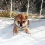 極小豆柴母犬シギ子b