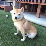 極小豆柴犬 レイナちゃん